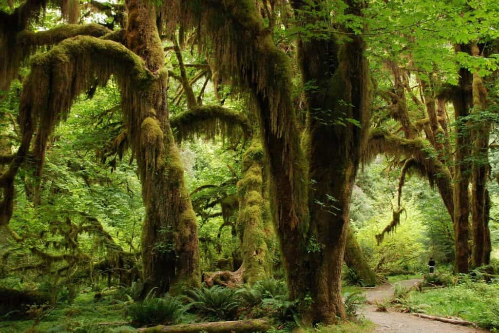 Trees covered in hanging moss in Olympic Rainforest Washington