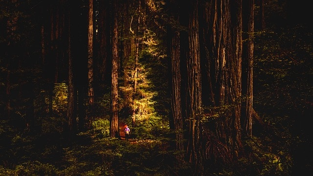 redwoods big sur view of forest with hiker